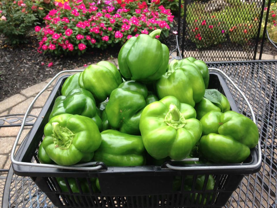 Massive green peppers I harvested recently (August 2016)