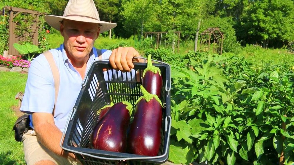 This is an unedited photo showing Farmer Fred with a few beautiful eggplants - freshly plucked from the garden - and beautiful garden surroundings! Talk about a high quality harvest!