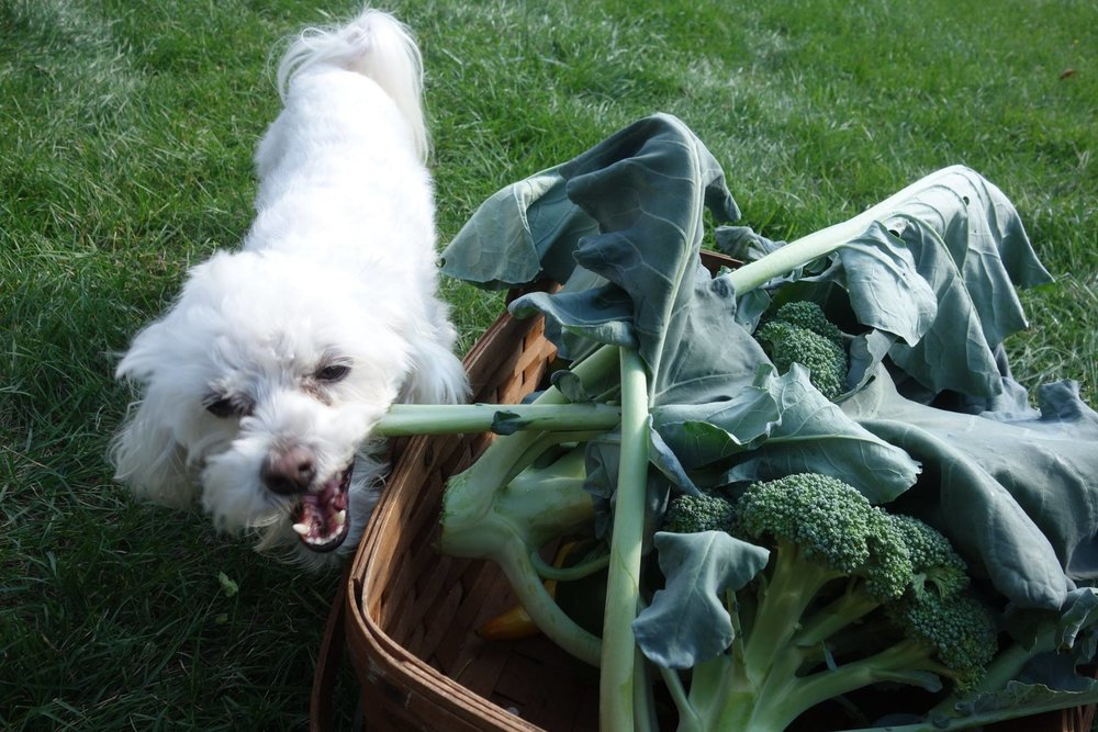 Even Bailey can appreciate a good vegetable harvest!