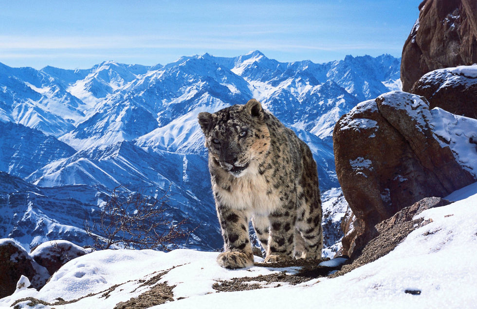 The rare snow leopard as seen in  Planet Earth II