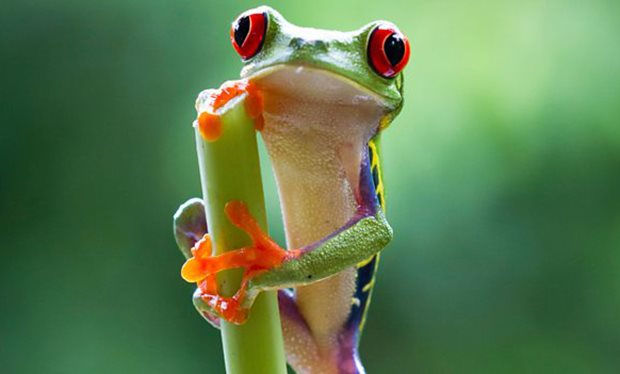 The cutest red eyed tree frog