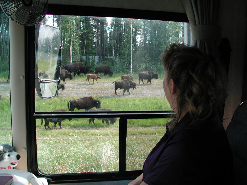 Bison crossing in the Yukon