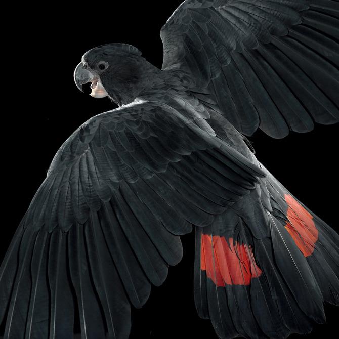A Black Cockatoo. War Design.