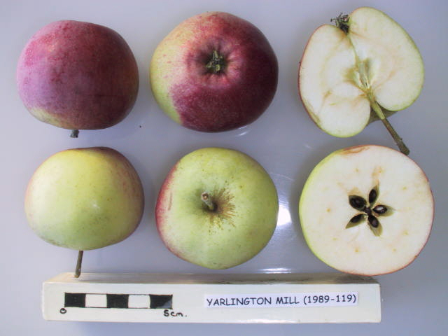 Yarlington Mill is a high quality English cider apple that produces a sweet to bittersweet juice for cider making. Produces a medium bittersweet cider.  Picture credit: UK National Fruit Collection. Contains public sector information licensed under the Open Government Licence v2.0.