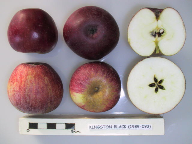 Kingston Black is an important English cider apple variety, producing a bittersharp juice. Used to produce a full bodied, excellent quality cider with a distinctive flavour.  Picture credit: UK National Fruit Collection. Contains public sector information licensed under the Open Government Licence v2.0.