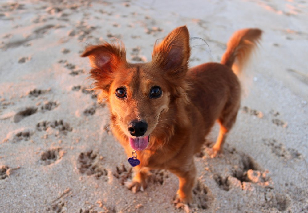COCO:  3 yr old Chiweenie. I was adopted through FAF 11 months ago! I am from Manoa and my favorite thing to do and my best feature is my smile. I love to show off my pearly whites whenever my mom or loved ones come home. I was born on St. Patricks day so hopefully I am the lucky winner :)