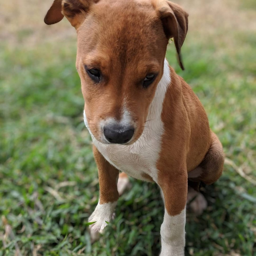REX:  4.5 month old Rhodesian Ridgeback mix. I live in Honolulu and my favorite things to do are sleep and play with my human brothers.