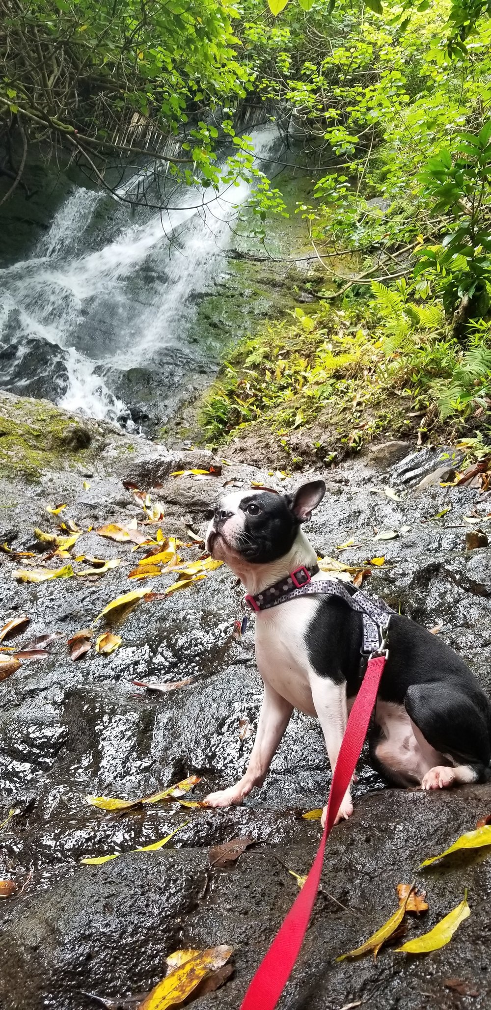 FUJI:  1 yr 8 month old Boston Terrier. I live in Wahiawa and my favorite thing to do is explore the outdoors and sniff everything! :)