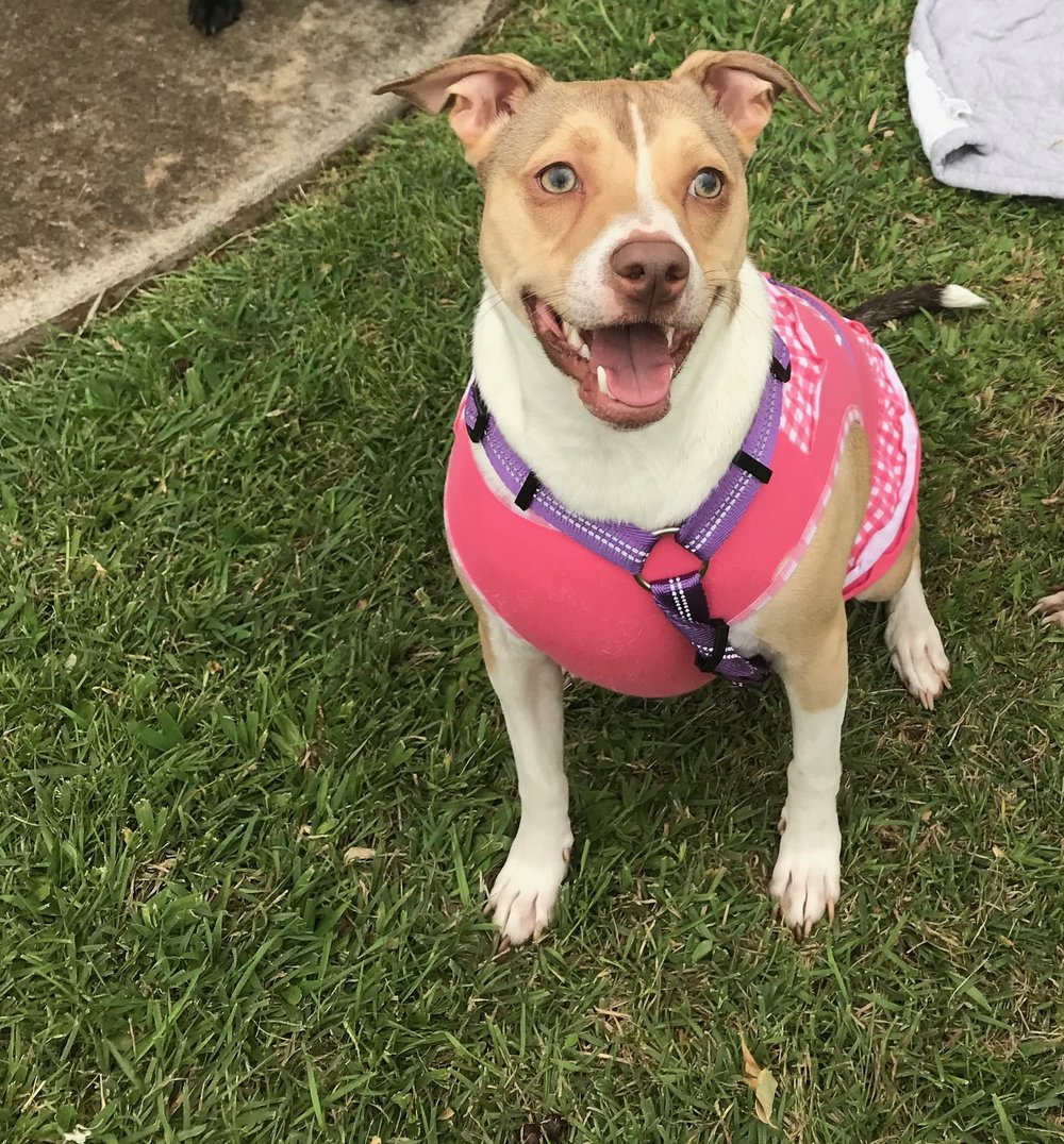 NALA BEAR:  2yr old Terrier mix, I'm from Honolulu and my favorite thing to do is to go on trips to the mailbox ( I hope my bark box is there) and I love to lick... EVERYTHING!
