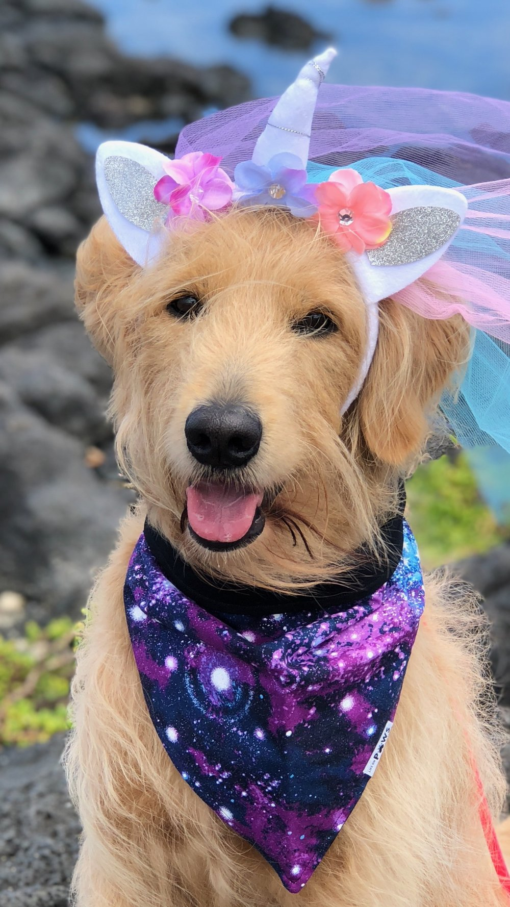 KAIA:  3yr old Golden Doodle. I'm from Honolulu and I enjoys hiking, chasing waterfalls & lizards, and sharing smiles and aloha where ever I goes :)
