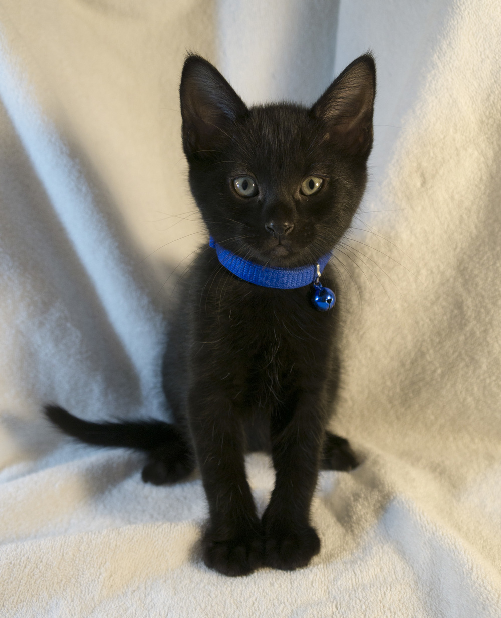 Lieutenant Broccoli  is one of the two boys in the litter, and he also loves his people.  Playful and affectionate in equal parts, he'll make a fine feline friend.