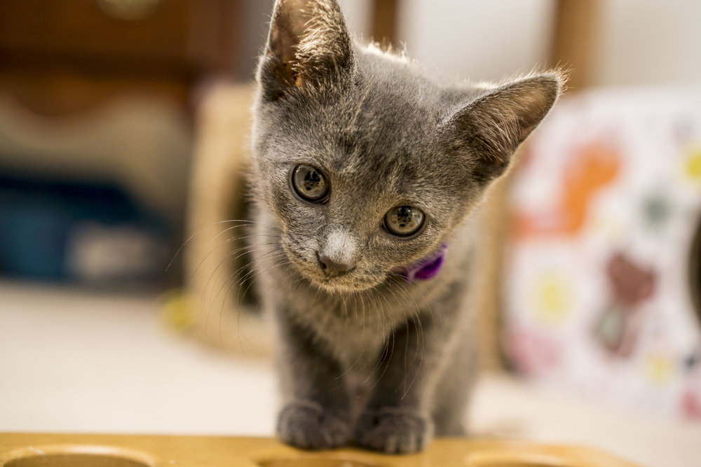 Dusty - Female - Purple Collar