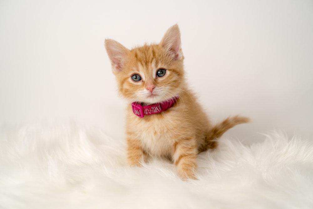 Tomato - Female - Pink Collar