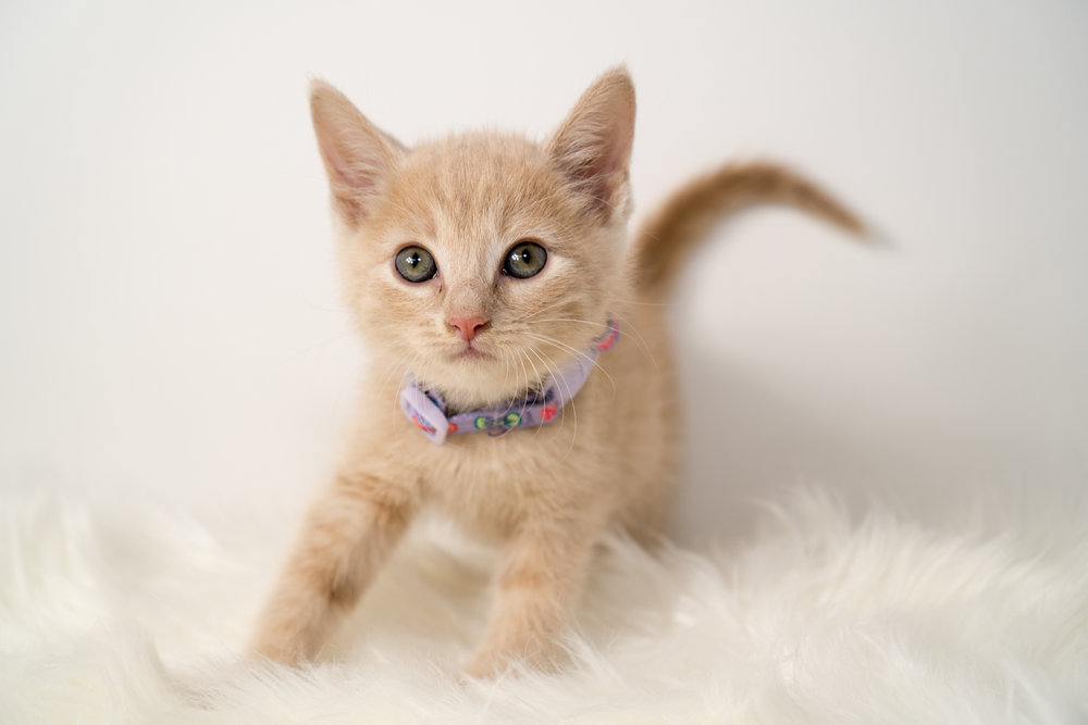 Pinto Bean - Male - Lavender Collar - Polydactyl