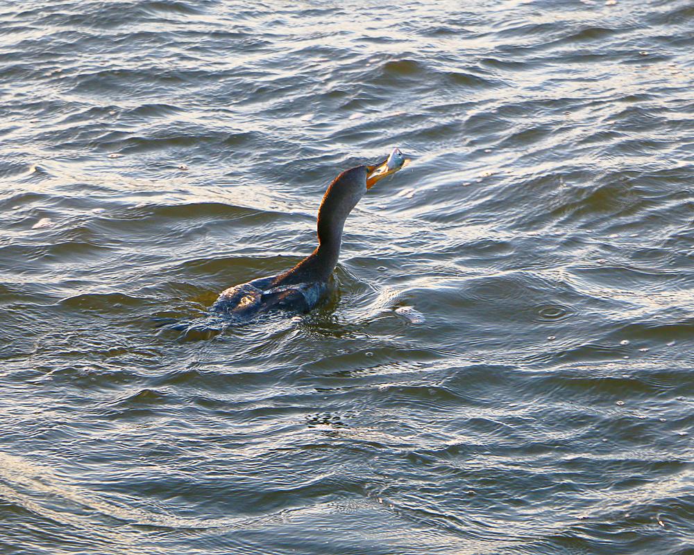 Cormorant with a successful catch!
