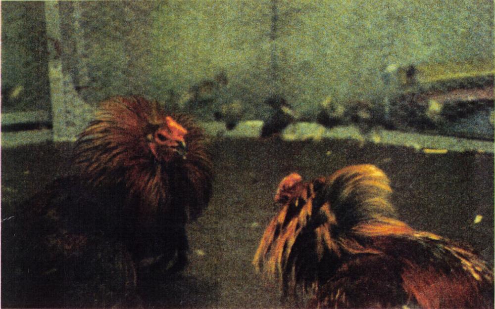 GALLODROME   Ein Film von Romuald Karmakar, Deutschland 1988, 12 Min Filmstill: Hahnenkampf in Nordfrankreich, 1988 Photo © 1988 Pantera Film GmbH