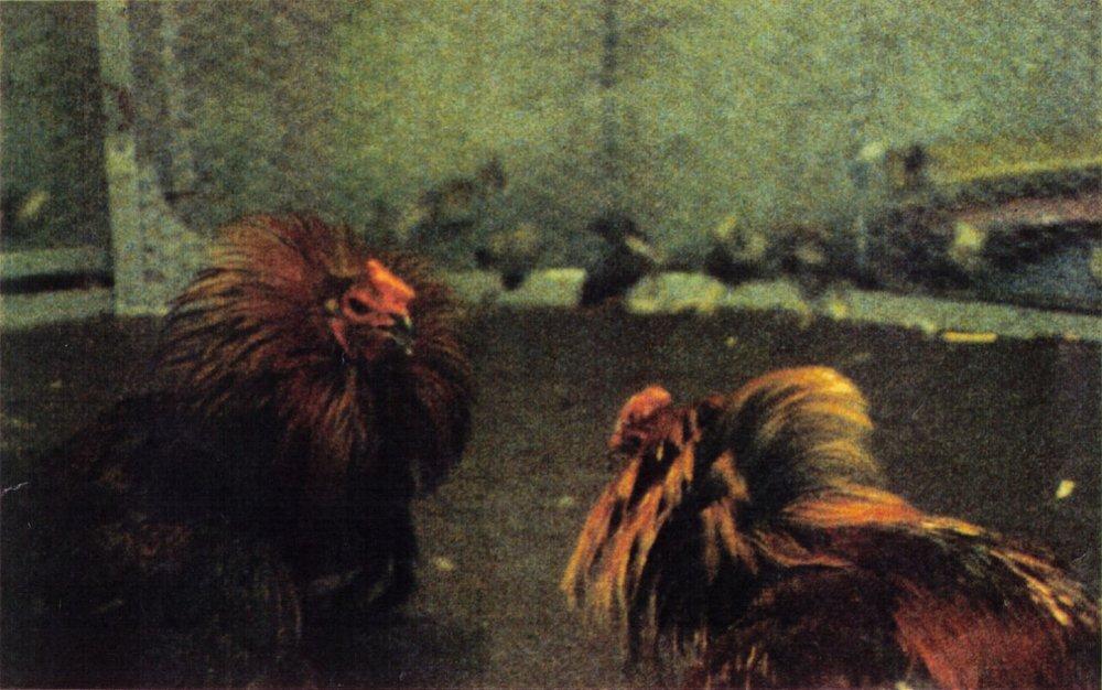 Copy of GALLODROME