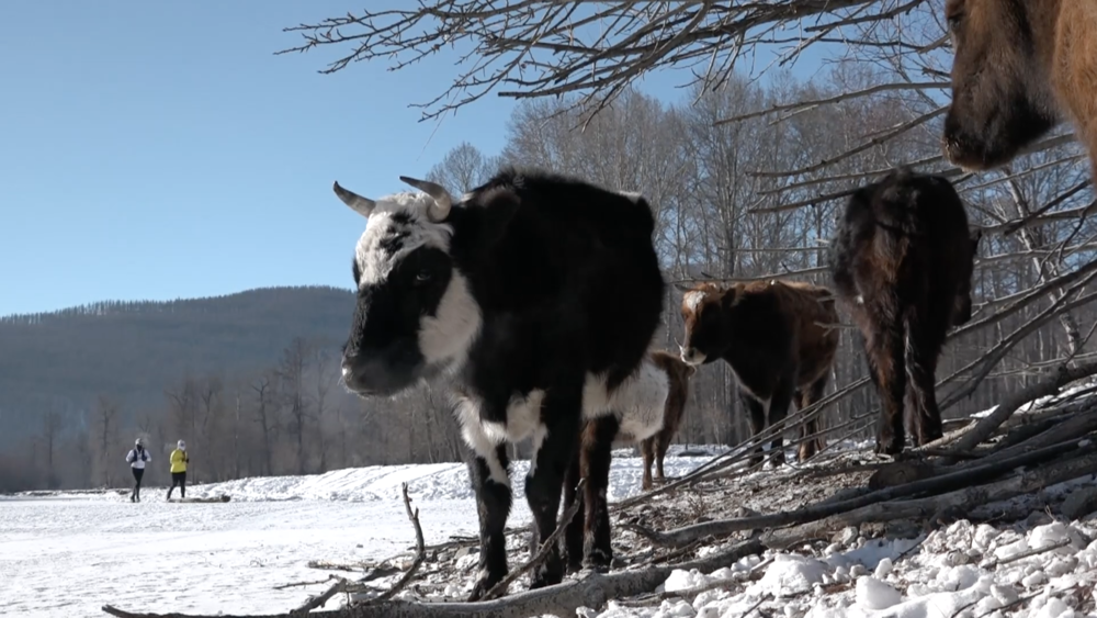 Me and Lenka running with cows. Screenshot from HUTCH/Rich Alexander footage