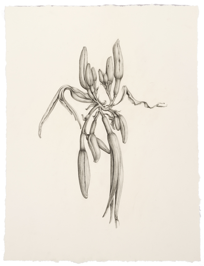 """Untitled (small Goth Lilies)"" pencil, colored pencil on paper, 15.5"" x 11.75"", 2014"