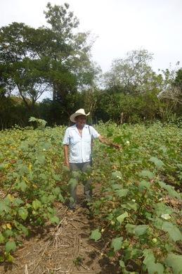 cotton 7.jpg