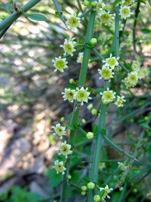 California Adolphia