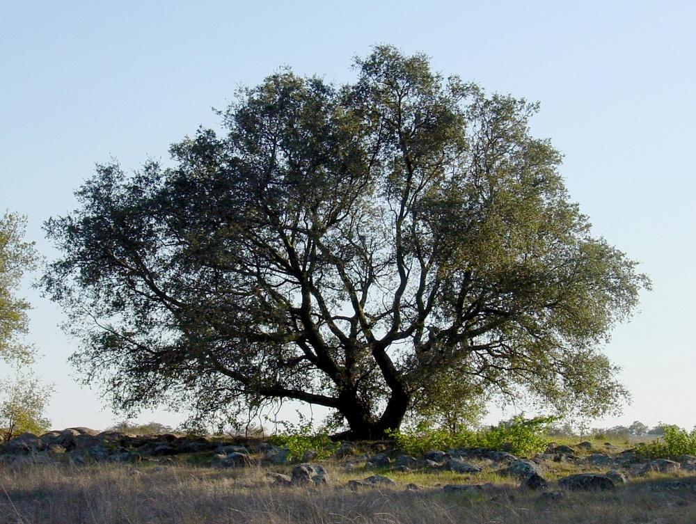 Engelmann oak