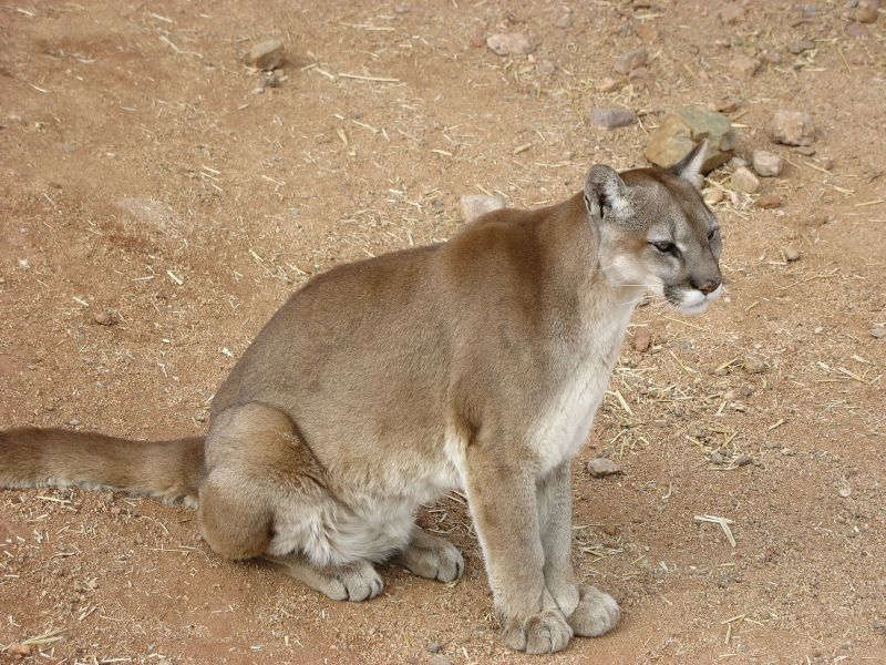 Cougar (mountain lion)