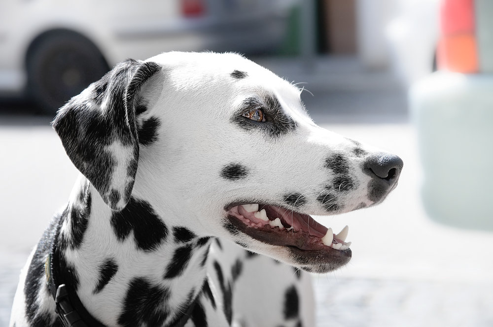 Dalmation Dog Training Denver