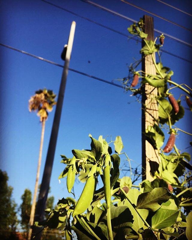 Puttering in the garden before work. Snap peas climbing....los angeles style #urbangarden#lincolnheights#growyourown#urbanfarm#growyourownveggies #sunsetmagazine #bungalowstyle #containergardening