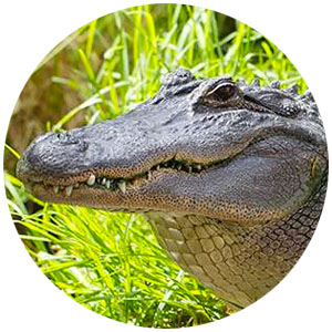 Alligator Farm & Petting Zoo