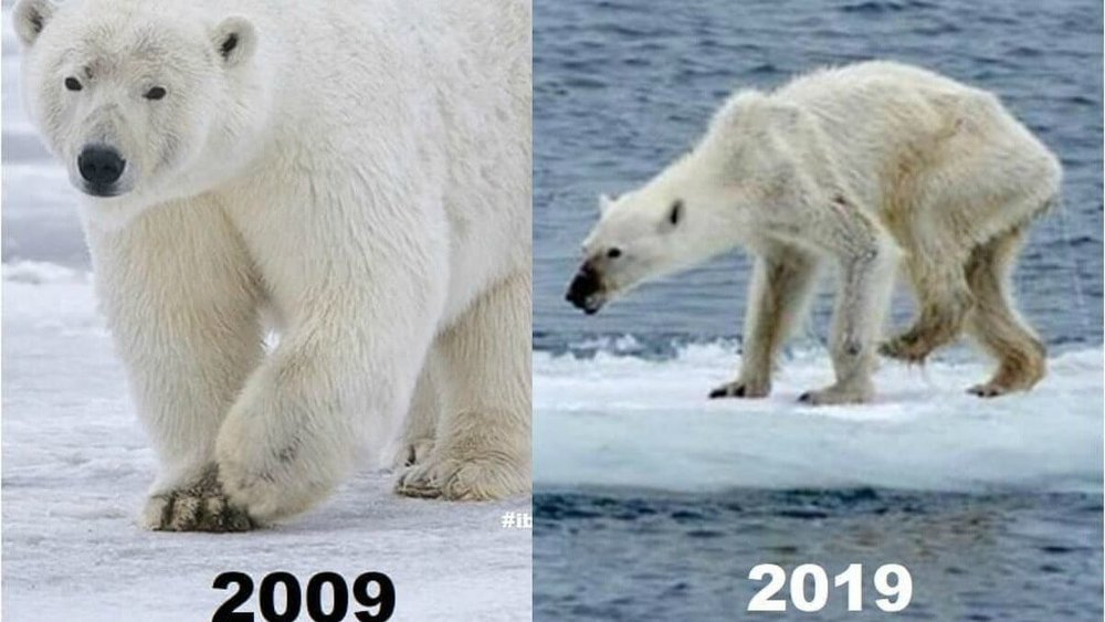 Most of us don't eat polar bears. However, their starvation is an ironic canary a the coal mine when it comes to our stewardship, environment, and eating.