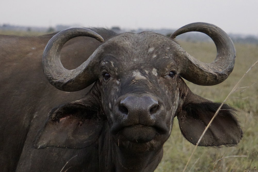 Nairobi National Park 35 (Cape Buffalo).JPG