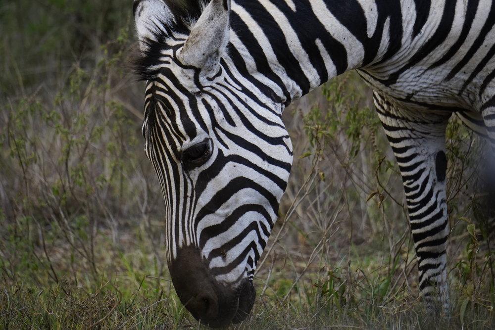 Nairobi National Park 47 (Zebra).JPG