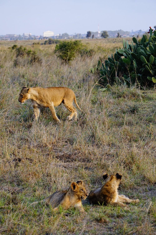Nairobi National Park 71 (Lions).JPG
