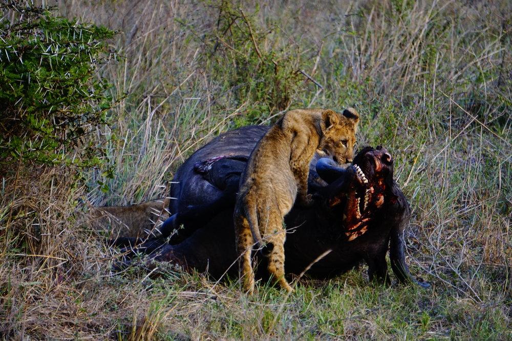 Nairobi National Park 77 (Lions).JPG