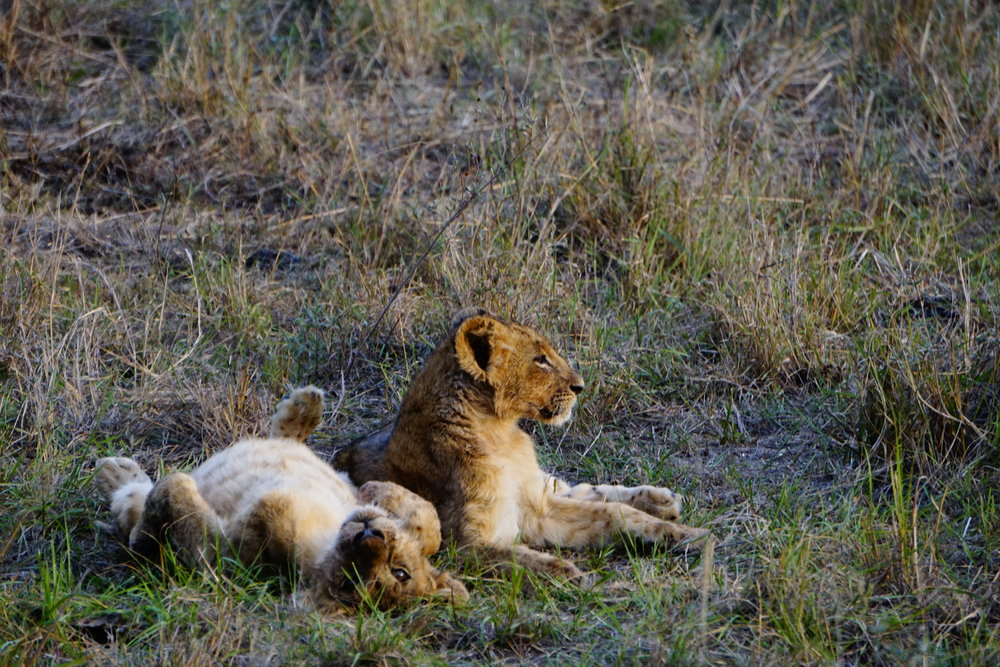Nairobi National Park 69 (Lions).JPG