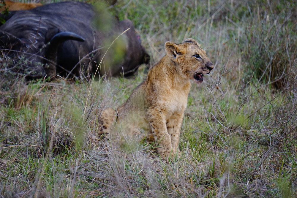 Nairobi National Park 110 (Lion).JPG