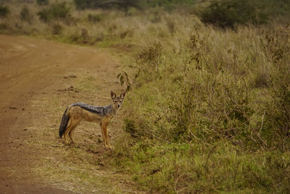 Jackal. What is so cool about these animals is they are monogamous and always found in a pair.