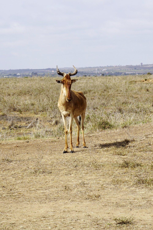 Nairobi National Park 18 (Hartebeest).JPG