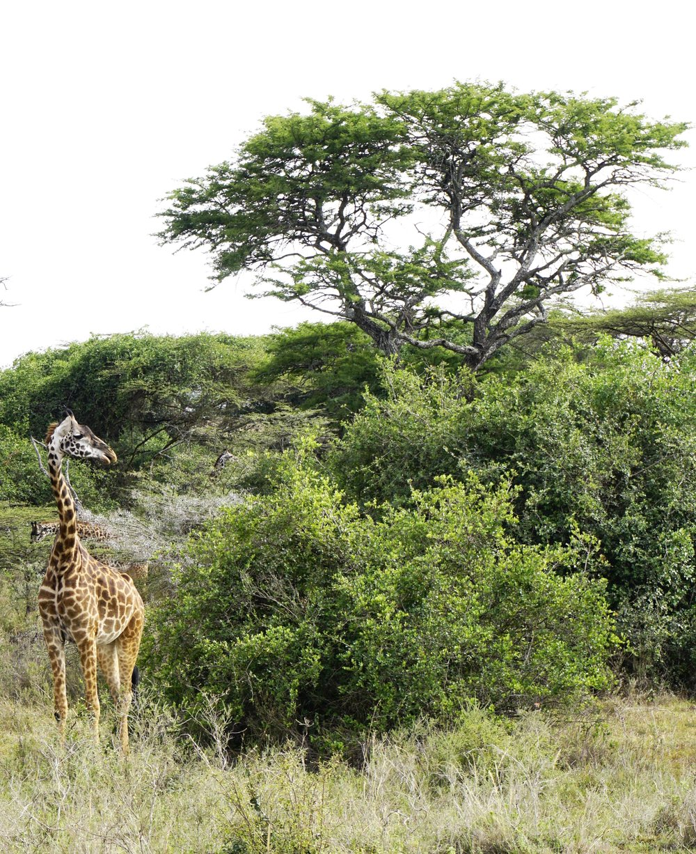 Nairobi National Park 13 (Giraffe).JPG