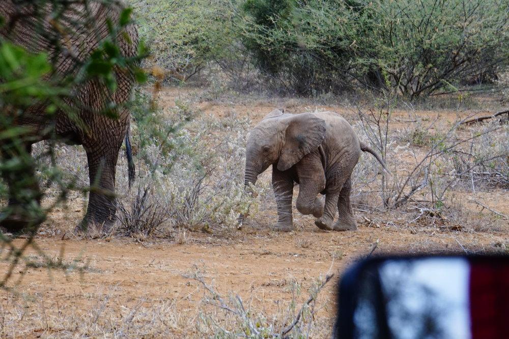 Selenkay 107 (Elephant) blog.JPG