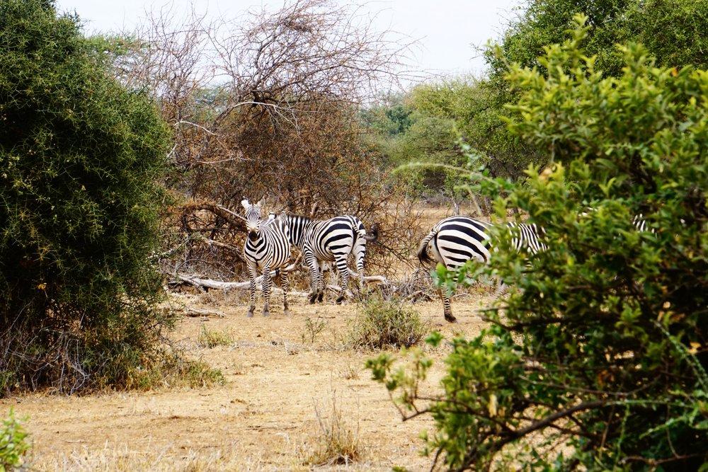 Selenkay 8 (Zebra).JPG