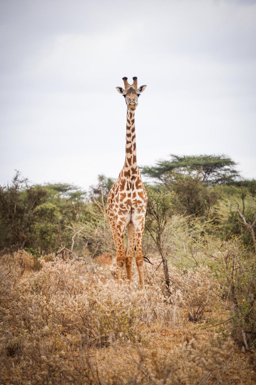 Selenkay 26 (Giraffe).jpg