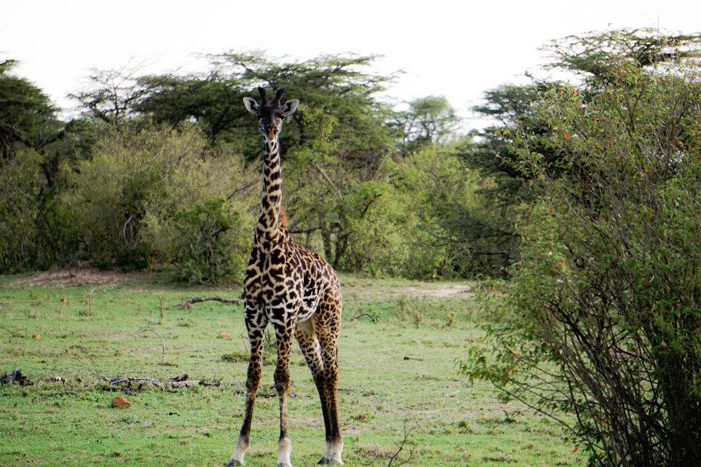 Baby giraffee