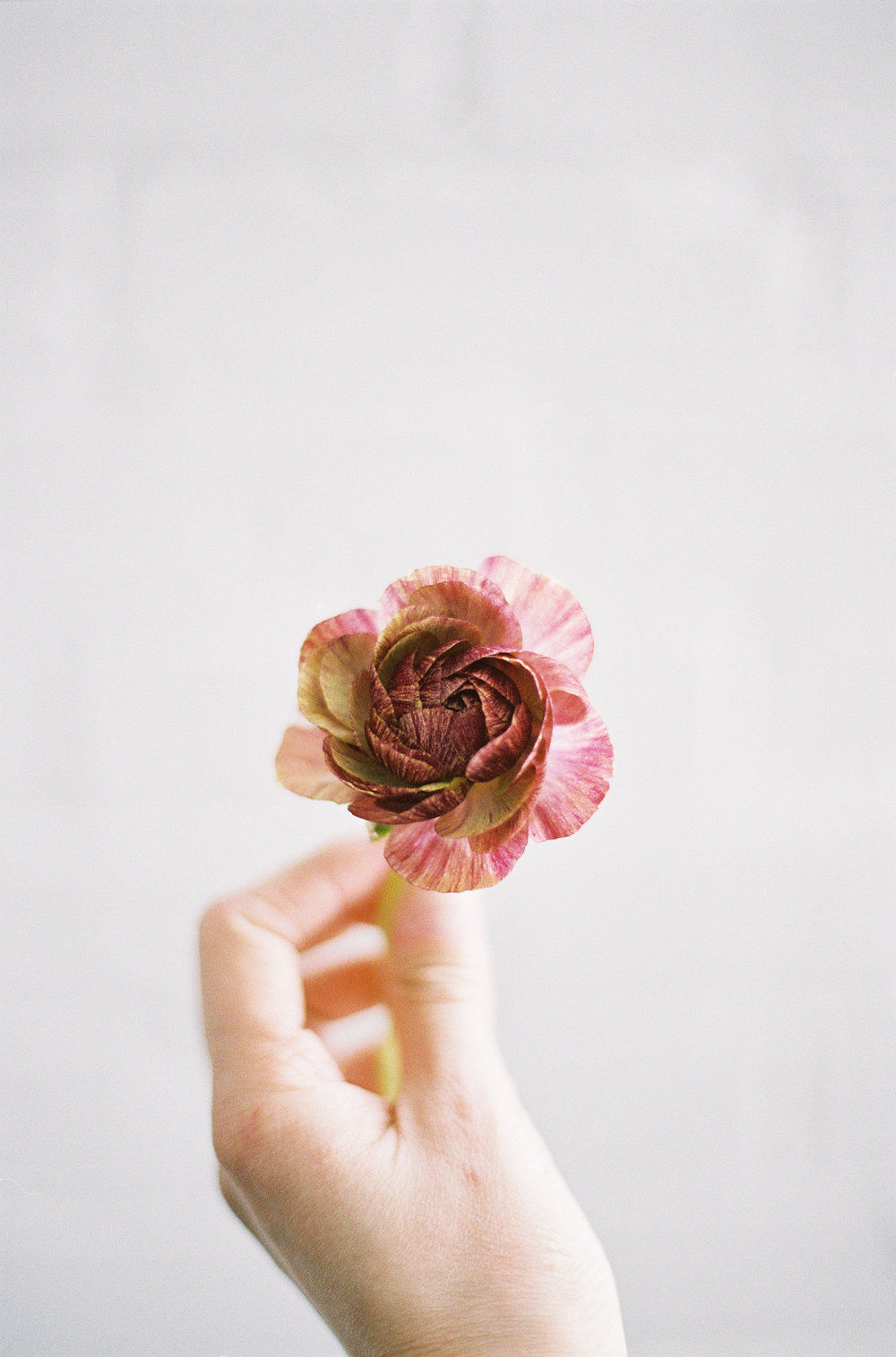 Beautiful delicate ranunculus