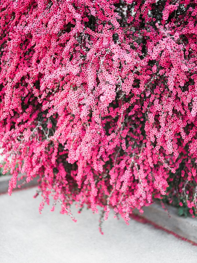 Gorgeous pink Spirea aka Bridal-wreaths