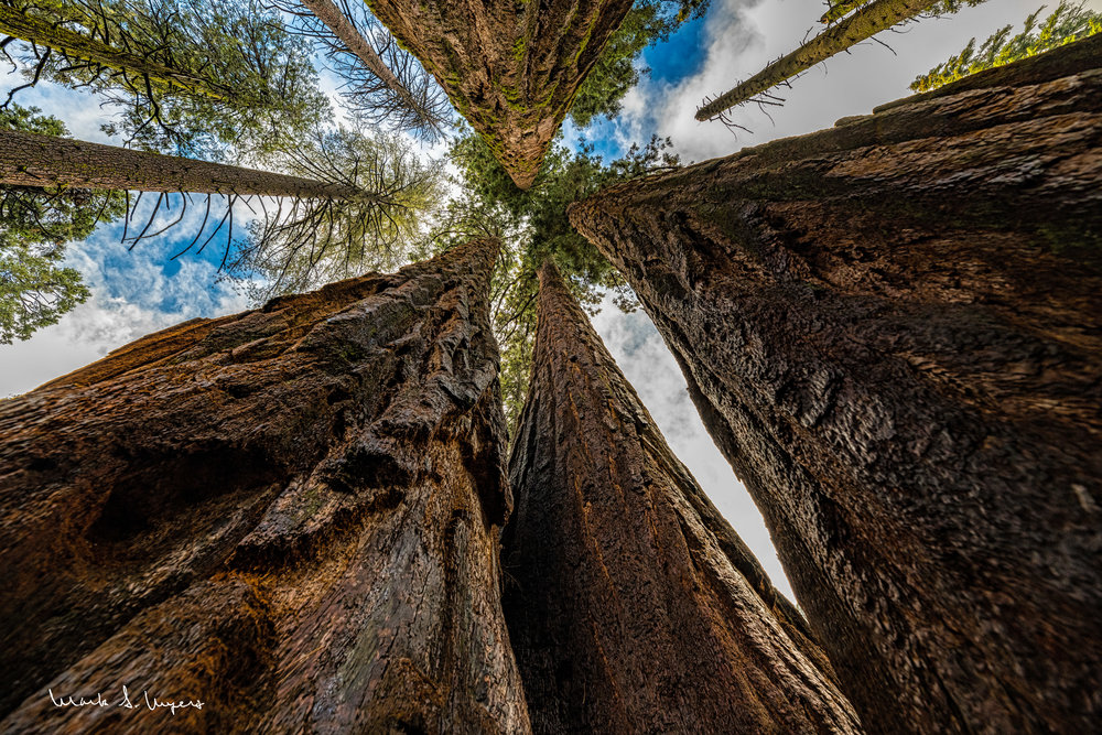 Mighty Sequoias - web.jpg
