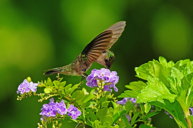 Antillean Crested Hummingbird (photo© Sam Barone)