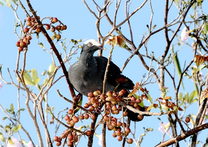 Classed as near-threatened on the IUCN Red List; White-crowned Pigeon (male) feeding on Red Birch berries (photo© Yves-Jacques Rey-Millet)