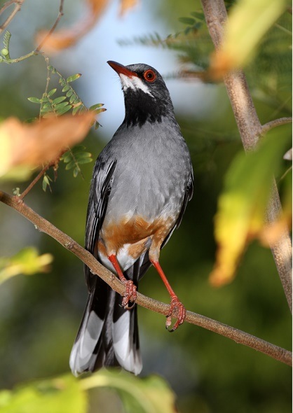An enchanting indigenous regional species - the Red-legged Thrush (photo© Yves-Jacques Rey-Millet)
